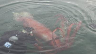 Giant Squid in Japan