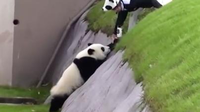 Pandas Do Not Climb